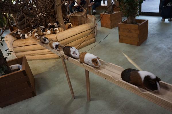 Guinea Pig Boardwalk
