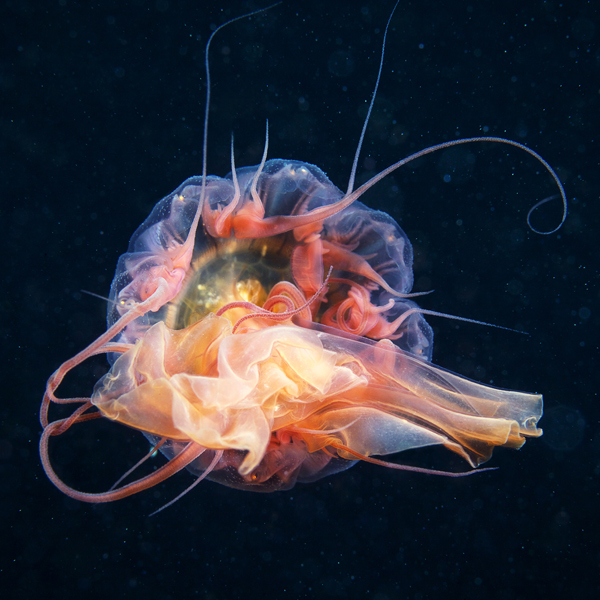 Jelly Fish 2