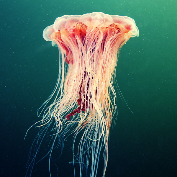 Jelly Fish 4