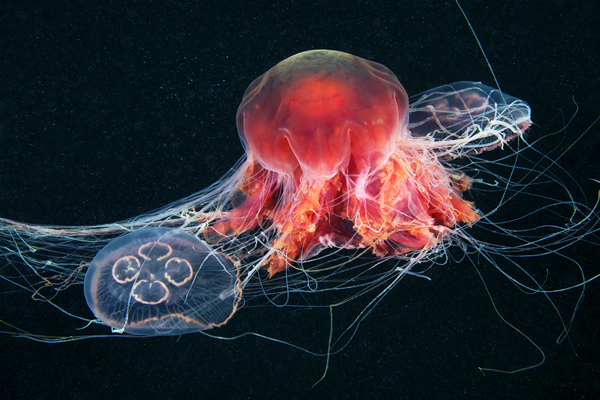 Jelly Fish 5