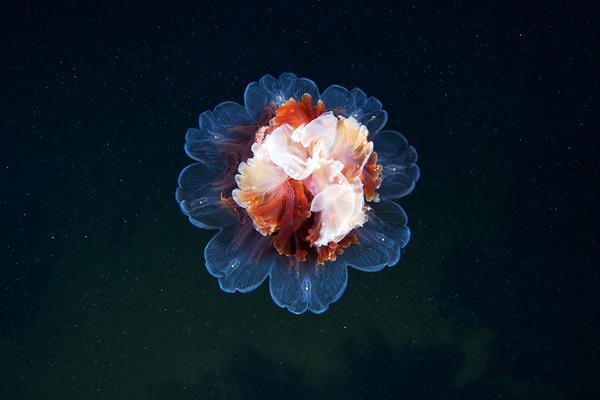 Jelly Fish 6