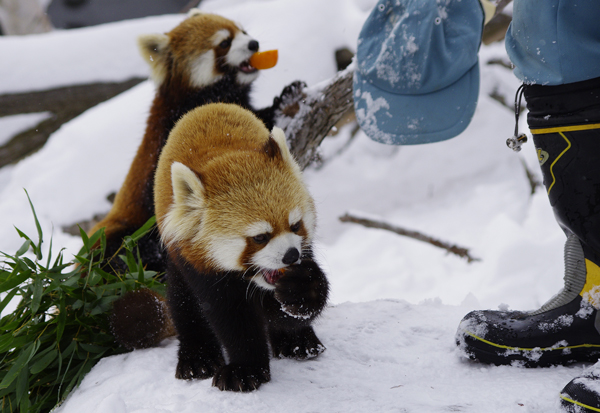 Red Pandas and Hat