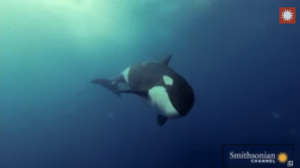 Orca playing
