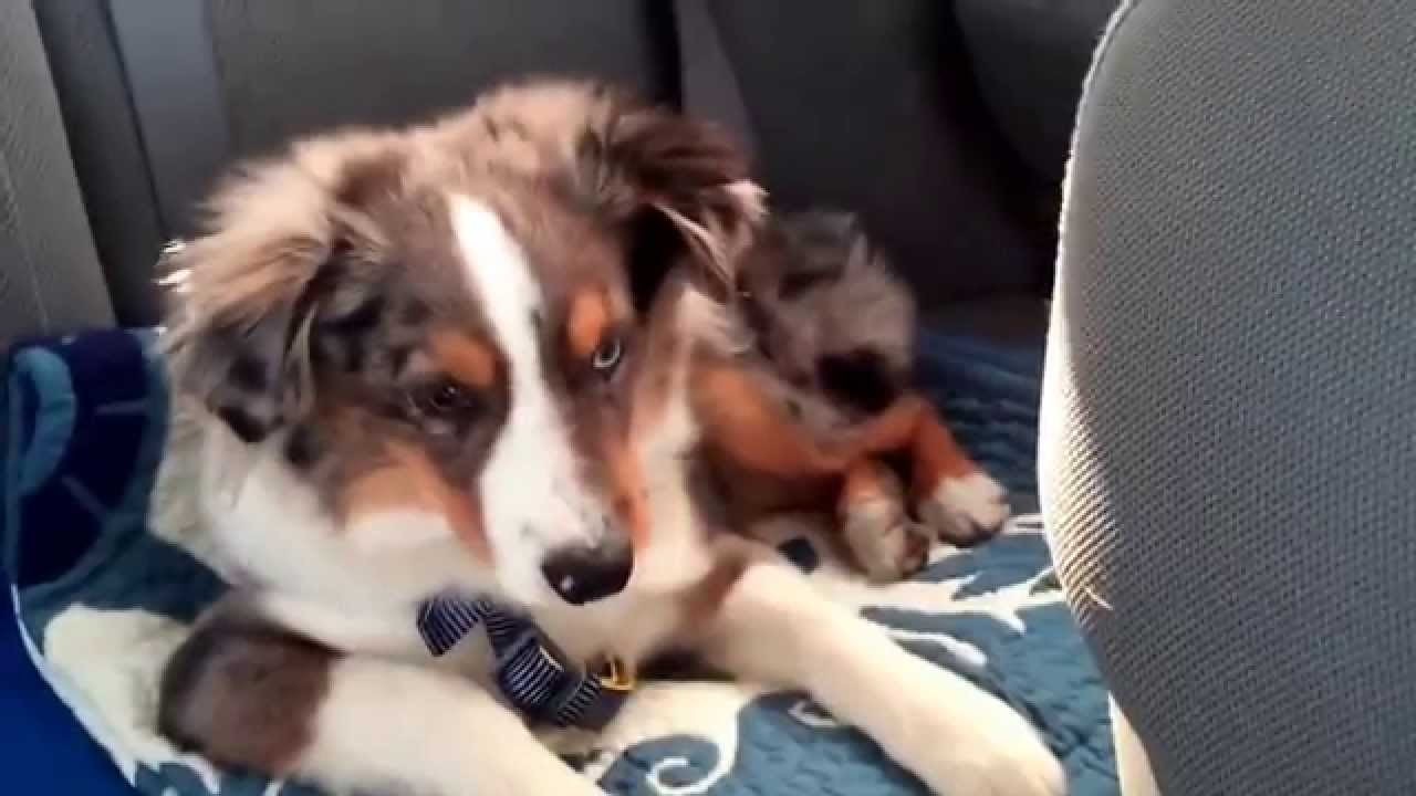 Australian Shepherd Puppy Wakes Up to Sing Along to 'Let It Go' and Goes Back to Sleep Once the Song Ends
