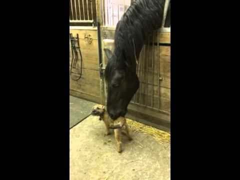 Border Terrier Puppy and Friesian Horse Engage In an Adorable Public Display of Affection