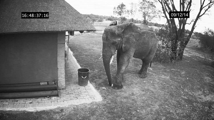 Surveillance Camera Captures a Fastidious Elephant Picking ...