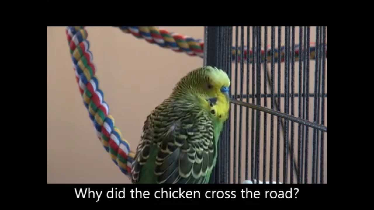 Disco the Parakeet Is Learning New Phrases and Wants to Know 'Why Did the Chicken Cross the Road'