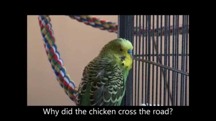 do female parrots talk - Parrot Forums