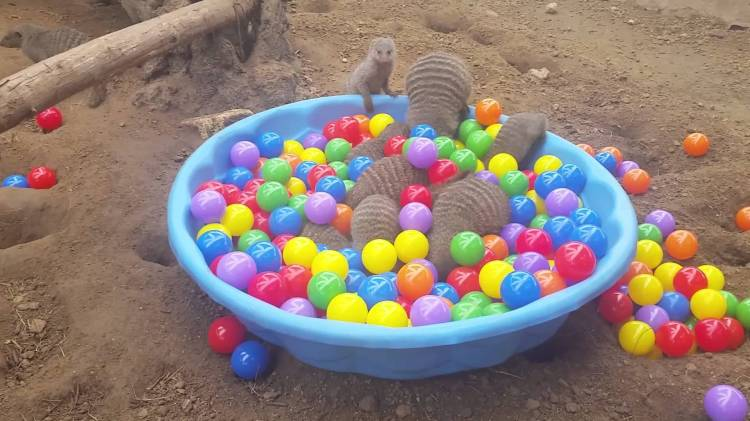 Excited Mongooses Gleefully Splash Around in a Kiddie Pool Filled With Colorful Balls