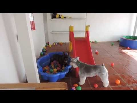 Overexcited French Bulldog Maniacally Runs Back and Forth Between Two Ball Pits, Splashing Around in Both