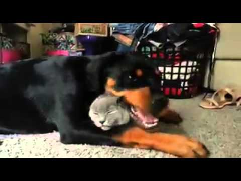 The Amazing Bond That Exists Between Rottweiler Dogs and Their Feline Companions