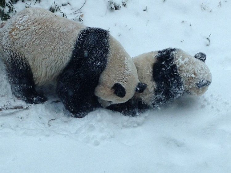 Panda cubs playing in snow - photo#12