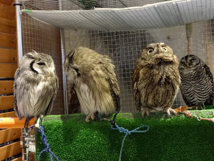 Owls in Cafe