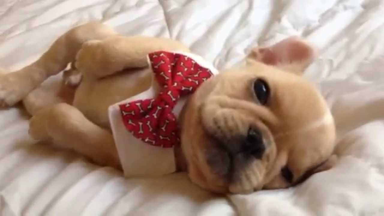 Brody Brixton the French Bulldog Puppy Falls Asleep Wearing an Adorable Red Bow Tie