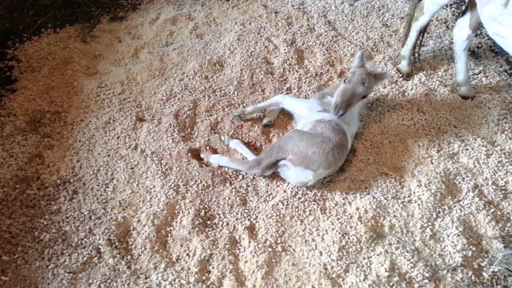 Baby Miniature Horse Rolls Around Happily in New Bedding on the Floor of His Stall