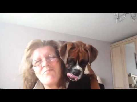 Boxer Puppy Climbs Onto Woman's Shoulder in an Effort to Capture the Warm Air From a Hair Dryer