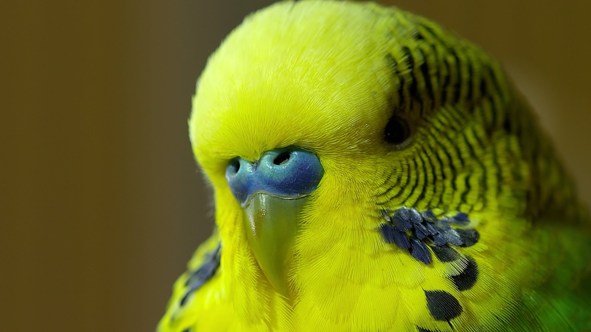 Disco the Parakeet Makes His World Debut on the BBC Program 'Pets – Wild at Heart'