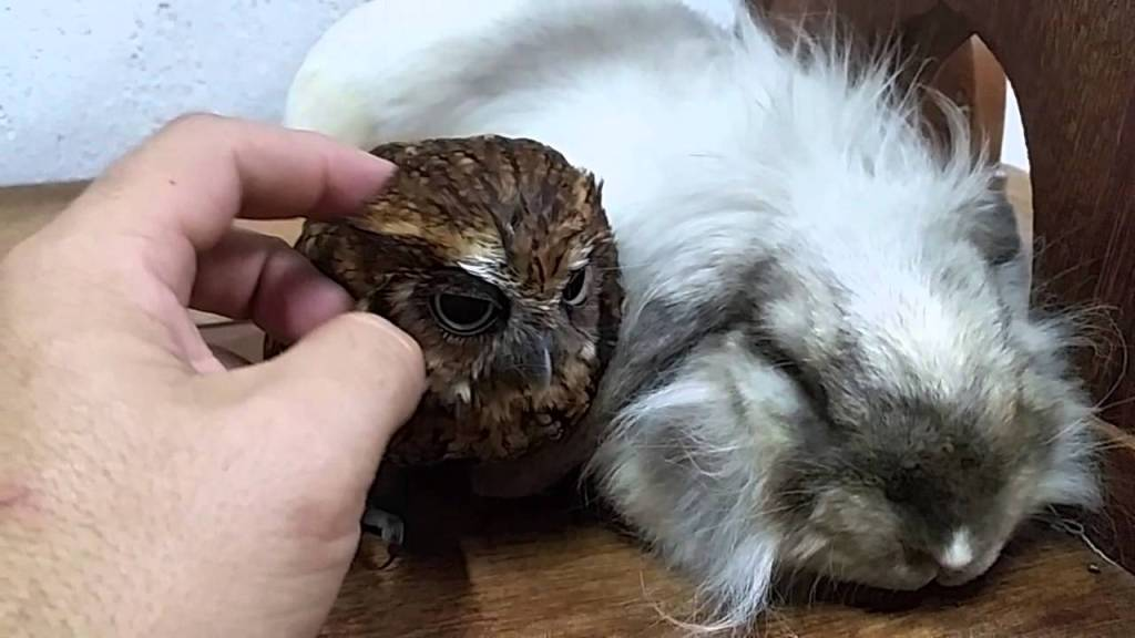 Little Owl Naps Peacefully Next to His Long-Haired Bunny Buddy