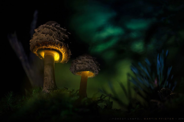 Glowing Mushroom Macro Photography by Martin Pfister