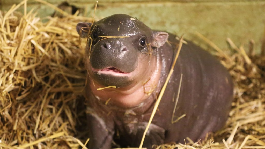 Pygmy Hippo With Cancer Gives Birth to an Adorable Baby Boy on Boxing Day at the Whipsnade Zoo in Bedfordshire, UK