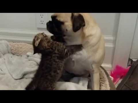 Rescued Kitten Adopts a Good-Natured Pug as His Brand New Best Friend