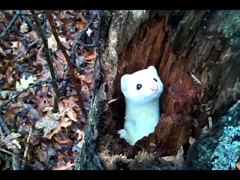 Shy Winter White Ermine Rises Up From Its Hiding Place Inside a Hollowed Tree in a Hesitant Game of Peekaboo