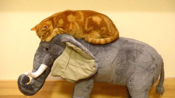 Gorgeous Orange Tabby Tries to Ride a Plush Stuffed Elephant and Then Goes to Sleep