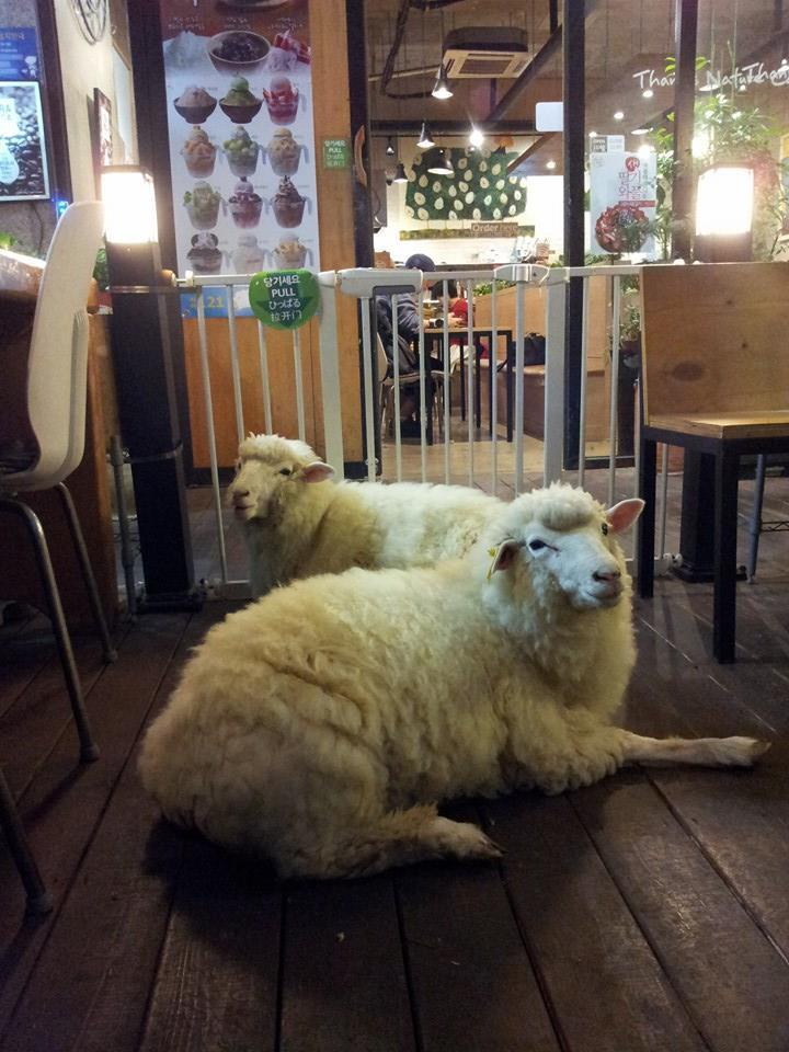 TN Sheep