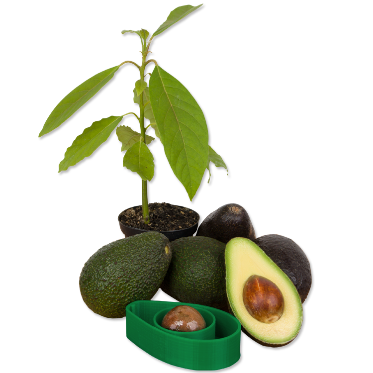 AvoSeedo with avocados