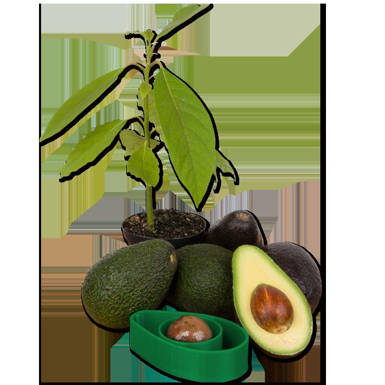 AvoSeedo with avocados