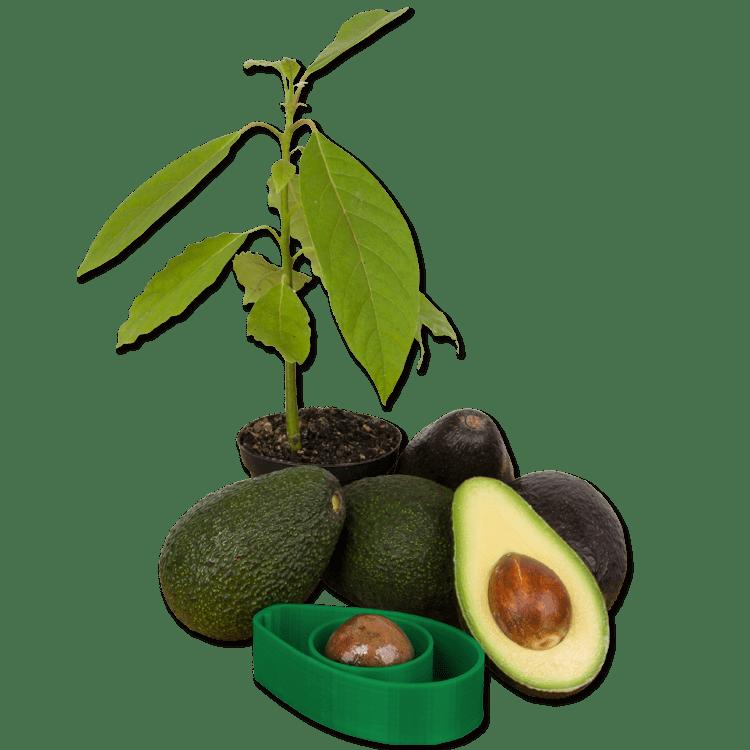 AvoSeedo, A Handy Tool To Make Growing Avocado Trees At