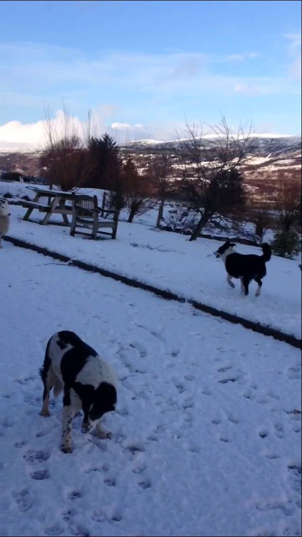 Barking Lamb Who Thinks She's a Dog Leaps Around in the Snow Alongside Her Canine Buddies