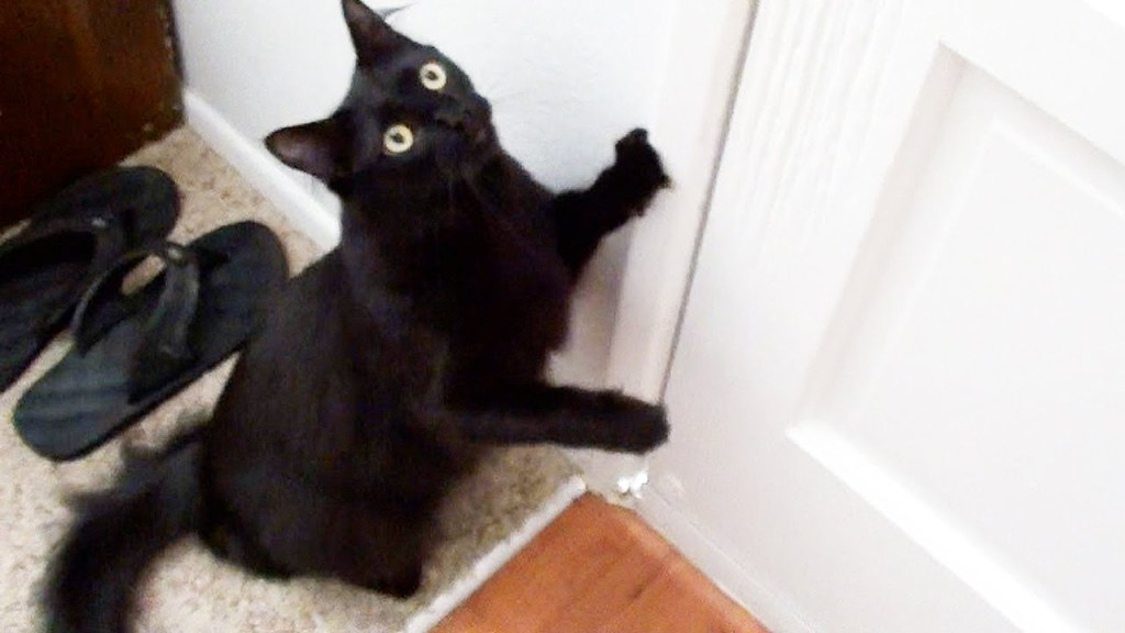 Cole The Black Cat Noisily Demands To Go Outside For A