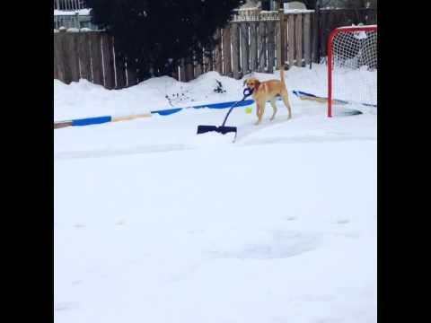 Helpful Dog Shovels the Snow From a Backyard Hockey Rink