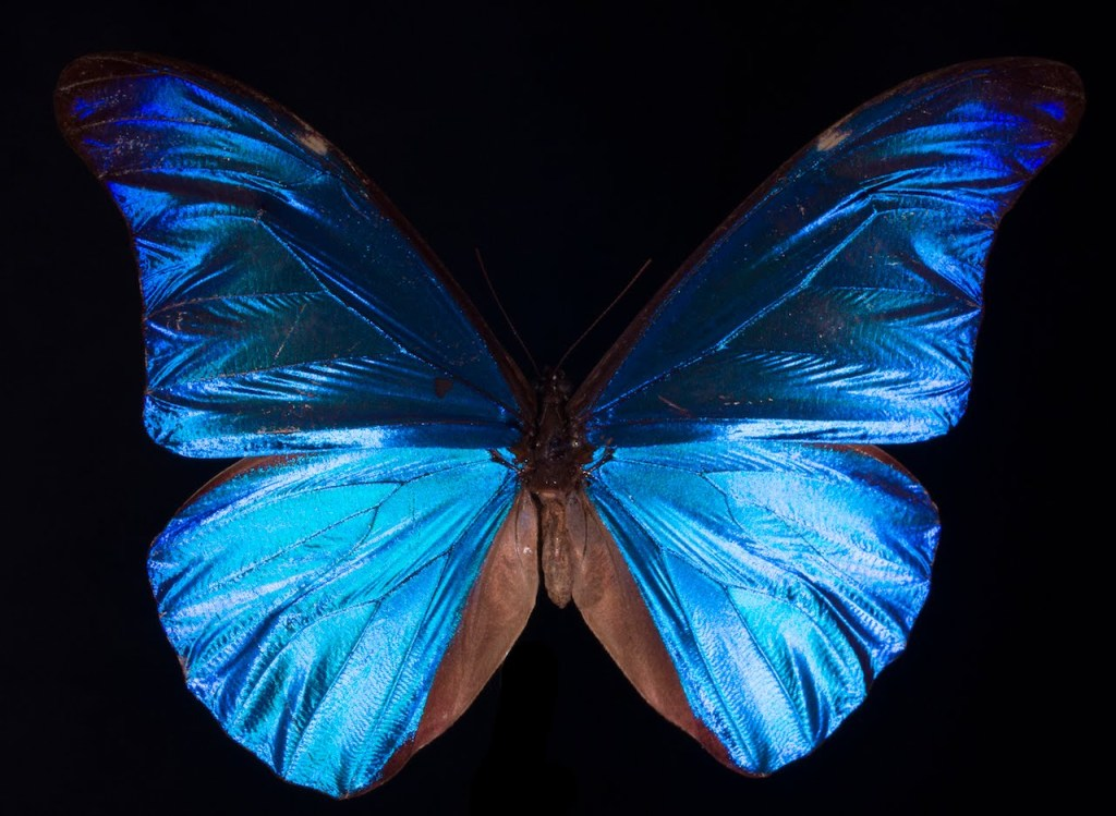 How Structural Coloration Gives the Morpho Butterfly Its Gorgeous Iridescent Blue Color
