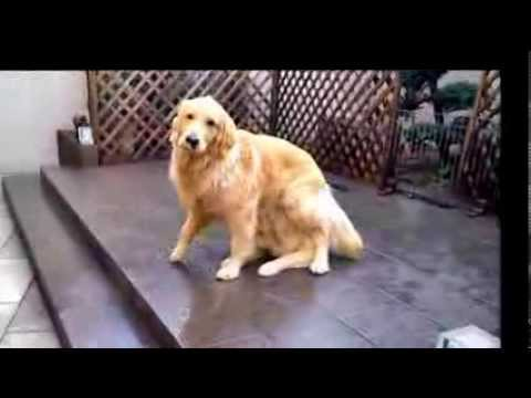 One Golden Retriever Magically Turns Into Two Golden Retrievers In Just a Few Seconds