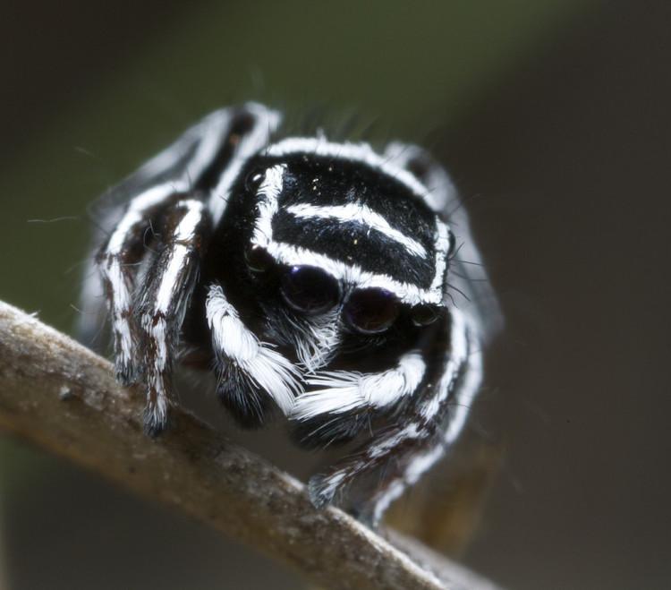 Sparklemuffin and Skeletorus Peacock Spiders