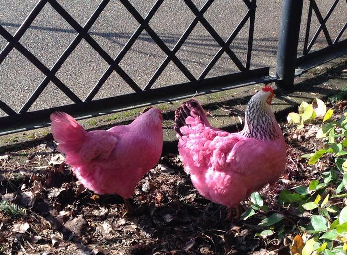 Pink chickens in Portland