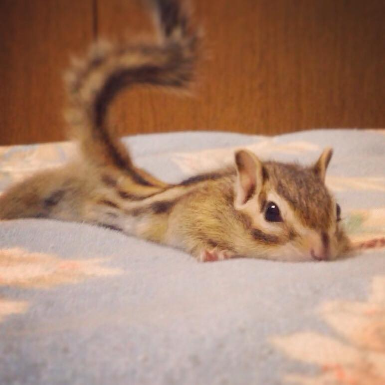 Teeny Tiny Chipmunk Looks Like She's Flying Whenever She Stops to Get in Her Daily Stretch