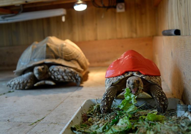 Tortoise prosthetic shell