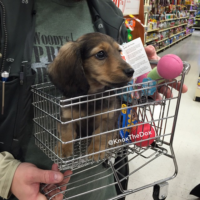 A Tiny Dachshund Puppy Rides Around a Big Grocery Store in a Tiny Shopping Cart