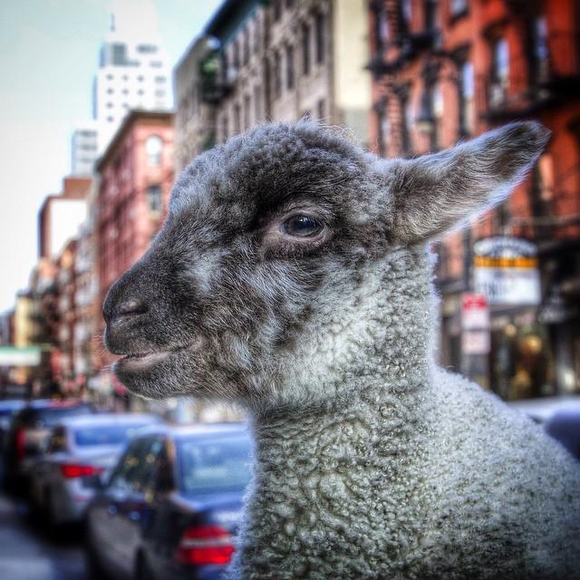 LES Lamb