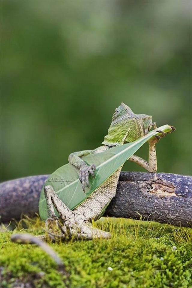 Lizard Playing Leaf Guitar