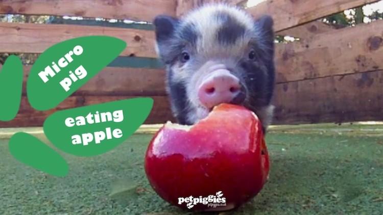 Piggie Eating Apple