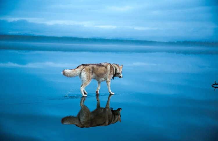 Siberian Husky on a Frozen Lake 2
