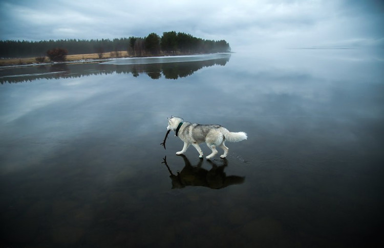 Siberian Husky on a Frozen Lake 4