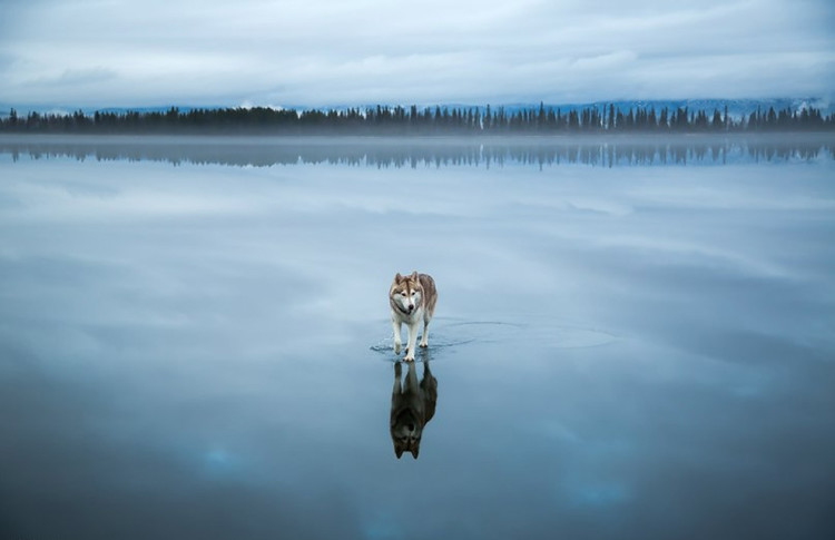 Siberian Husky on a Frozen Lake 5