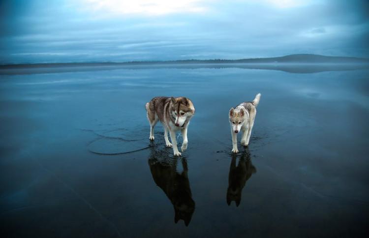 Siberian Husky on a Frozen Lake 6