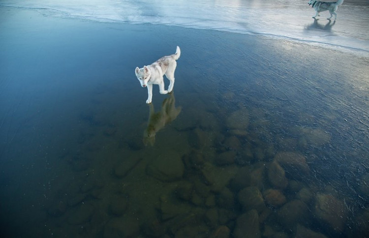 Siberian Husky on a Frozen Lake 7