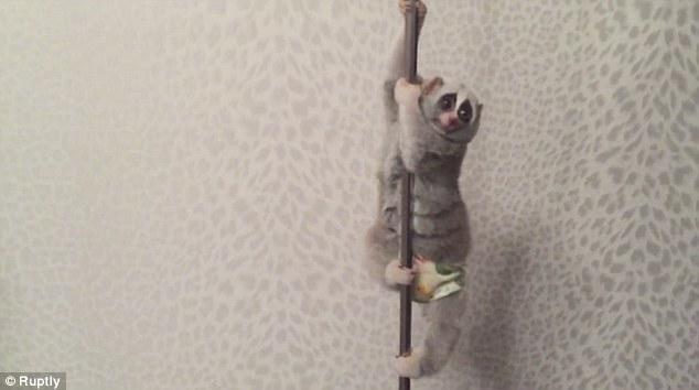 Slow Loris Pole Dance